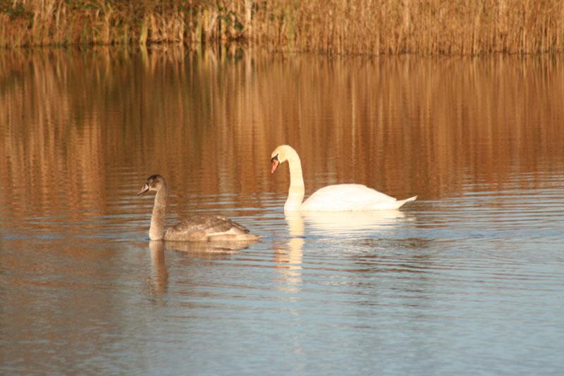 swans_thumb