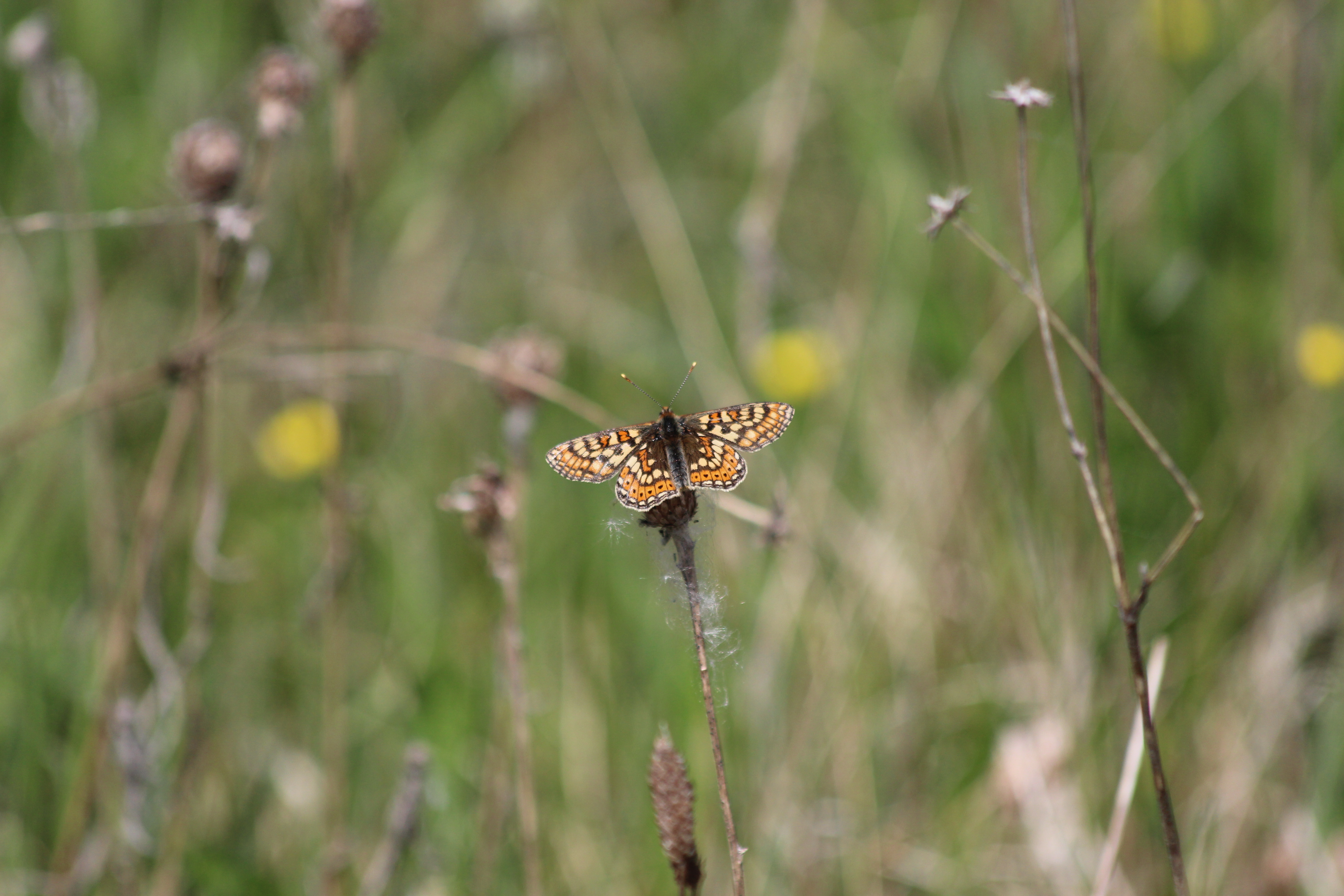 The rare Marsh Fritillary Butterfly was recorded for the first time on an irish bog for 20 years