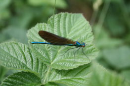 Damselfly in Lough Boora Discovery Park