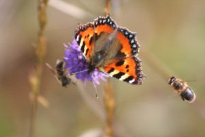 small-tortoiseshell-and-bees-on-Devils-bit-scabious