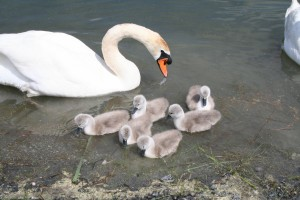 swan-and-cygnets