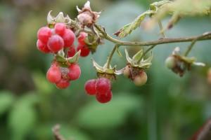 wild-rasberry