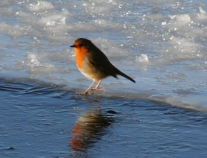 Robin on ice