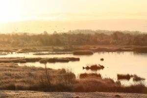 whoopers-on-ice-at-tumduff-wetlands