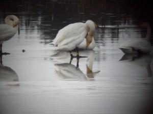 B9T-Whooper-Swan-Tumduff-Mor