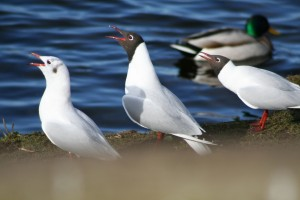 Blackheaded-gulls