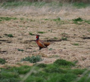 Cock pheasant looking good 750