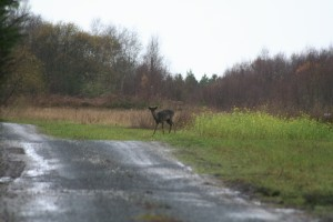 Fallow-deer-2010