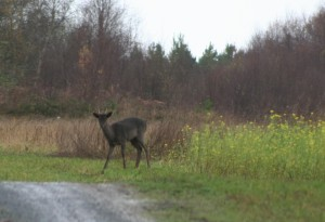 Fallow deer 2010resized