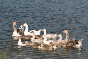 Farmyard-Geese-at-Finnamore-Lake