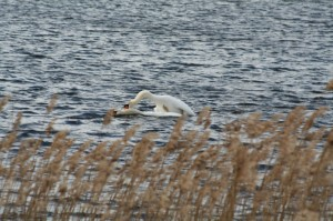 Friendly swans 800