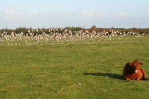 Golden-plover-on-grassland