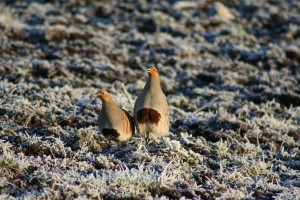 Grey-Partridge-pair-on-frosty-grass