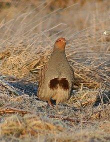 Grey-Partridge-thumbnail-2