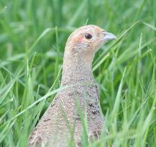 Grey-Partridge-thumbnail