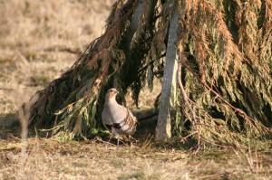Grey partridge feeding 800