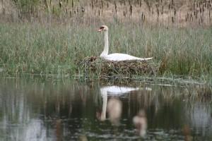 Mute-swan-on-nest