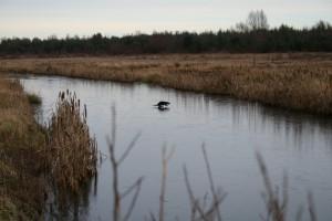 Otter-on-ice