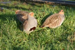 Partridge-2