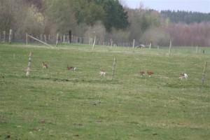 Racing-hares