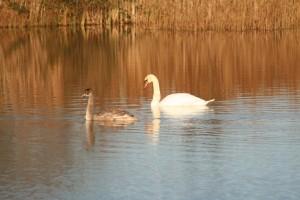 Swans-in-Wetland
