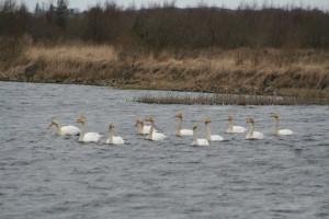 Whooper-swans