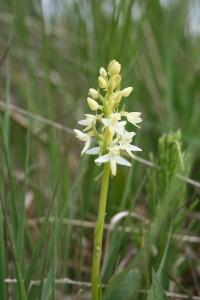 butterfly-orchid