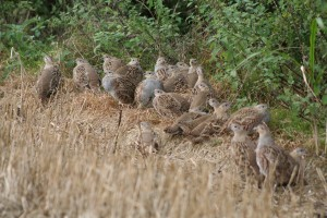 covey-of-grey-partridge