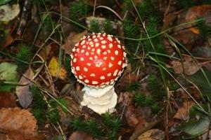 fly-agaric-mushroom