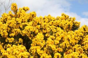 furze-in-bloom