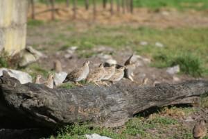 grey-partridge-on-black-oak