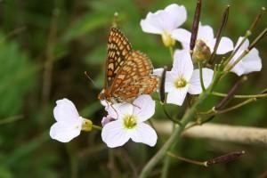 marsh-fritillary-butterfly